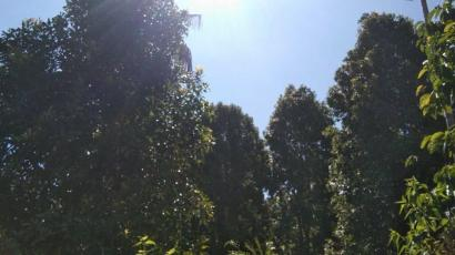 Menghela Narasi Pemanenan Cengkeh [Hari 1]