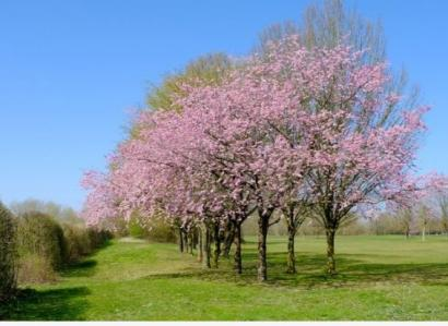 Puisi: Cinta dalam Wangi Sakura