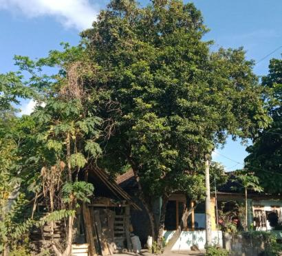 Hantu Pocong di Pohon Sawo