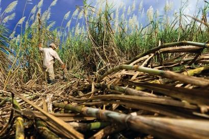 Wit Tebu Kebakar, Ruginya Banyak bagi Pemilik Tebu