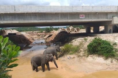 Tertarik Melihat Gajah Liar di Perlintasan Underpass Tol?