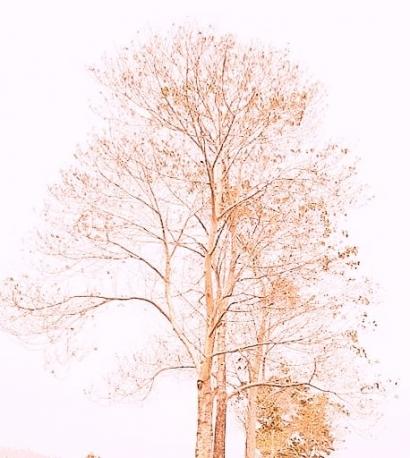 Daun Hijau yang Hilang dari Pohonnya