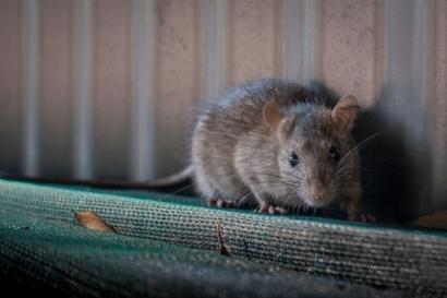Tikus yang Merajalela