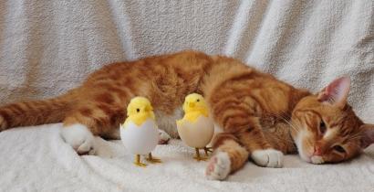 Cerita Fabel: Ayam dan Kucing Kampung