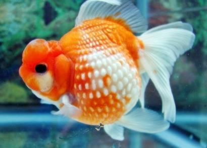 Tip Memilih Ikan Hias Sehat Saat Membelinya