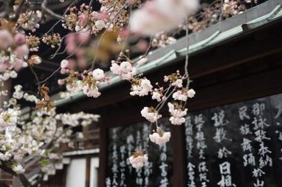 Antara Sakura dan Mawar