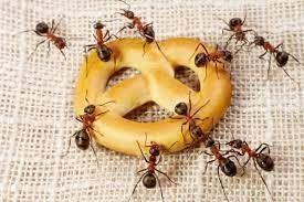 Cara Jitu Usir Semut Bandel