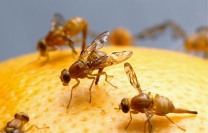 Cara Sederhana Membasmi Lalat Buah di Rumah