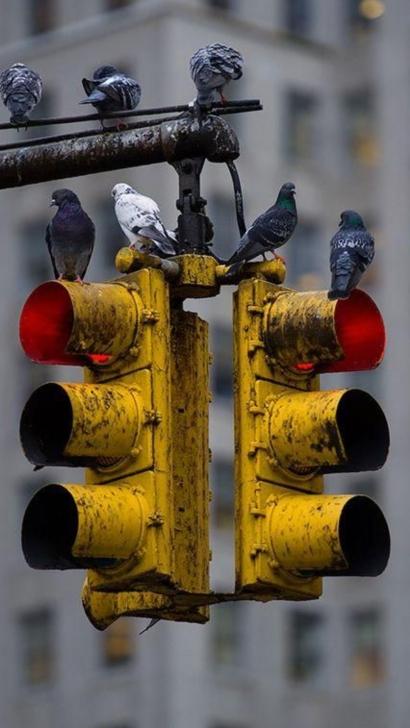 Sekawanan Burung Dara Bertengger di Lampu Merah