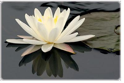 Khasiat Bunga Teratai dan Lotus