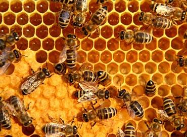 Berdemokrasi ala Demokrasi Lebah Madu